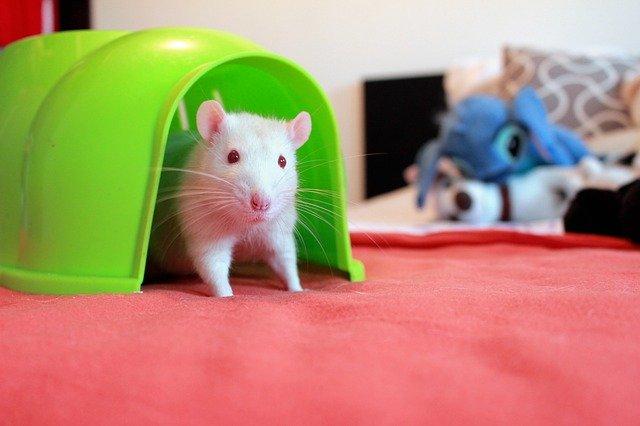 potkan v domečku