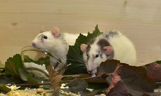 páreček potkanů